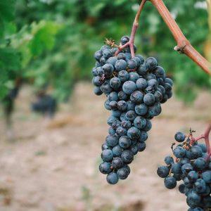 Aux alentours : Vignobles